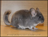 Chinchilla Afro Violet Velvet Blue Diamond Carrier