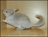 Chinchilla Pearl Blue Diamond Carrier