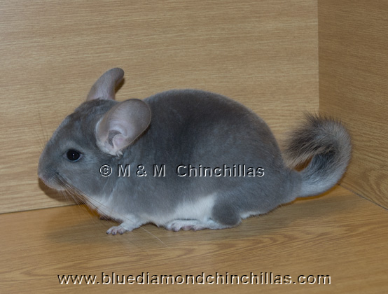 Afro Violet Blue Diamond Carrier chinchilla