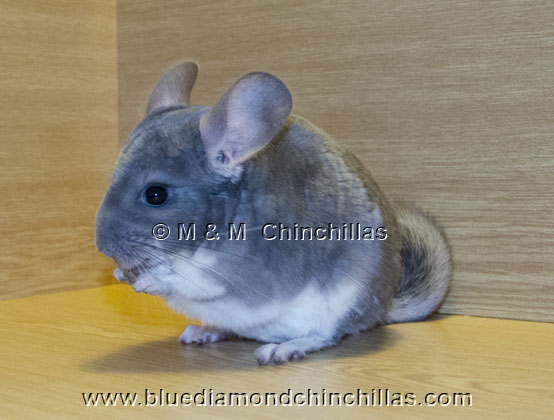 Chinchilla Afro Violet Blue Diamond Carrier